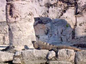 iguana on ruin