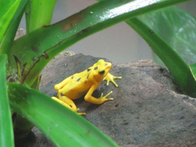 Panama's golden frog